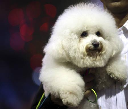 A Bichon Frise takes part in the annual dog show in Kolkata in this January 18, 2009 file photo. REUTERS/Jayanta Shaw/Files