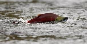 <p>A sockeye salmon scurries through shallow water in the Adams River while preparing to spawn near Chase, British Columbia northeast of Vancouver October 11, 2006. REUTERS/Andy Clark</p>