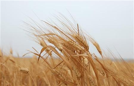 A field of wheat is seen in Assanamein area, south of Damascus August 20, 2009. REUTERS/Khaled al-Hariri