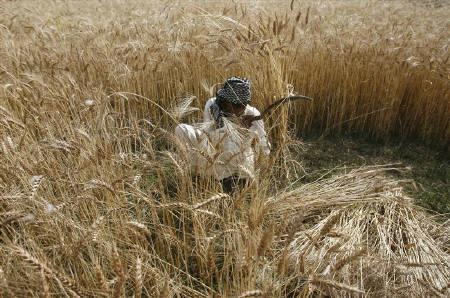 A labourer uses a sickle to harvest wheat on the outskirts of Lahore in this April 21, 2009 file photo. Saudi Arabia is in talks with Pakistan to lease an area of farmland nearly twice the size of Hong Kong in a bid to ensure food security. REUTERS/Mohsin Raza/Files
