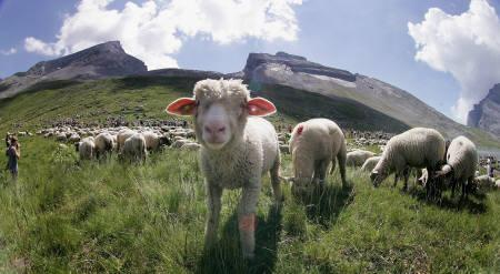 Sheep graze during the annual shepherd festival on the Gemmi pass between the Bernese Oberland and the Valais in this July 30, 2006 file photo. REUTERS/Pascal Lauener