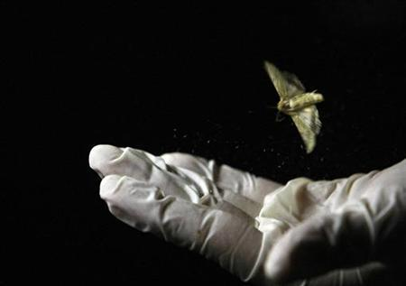 A cotton bollworm moth (helicoverpa armigera) flies off the hand of a technician in a laboratory in Melbourne June 18, 2008. REUTERS/Mick Tsikas