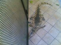 <p>Il coccodrillo trovato a Caserta. REUTERS/hand out</p>
