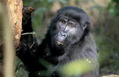 <p>A mountain gorilla, a member of the Mubare gorilla group, searches for food in the Bwindi Impenetrable Forest in Uganda July 2, 2009. REUTERS/Molly Riley</p>