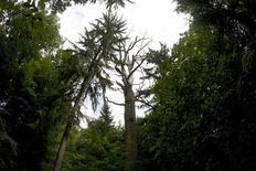 <p>Les agences spatiales et la société américaine Google contribuent à un projet international de surveillance des forêts par satellite, dans le cadre de la lutte contre le réchauffement climatique. Ce système, auquel contribue notamment l'Agence spatiale européenne, a pour objectif des évaluations annuelles des stocks de carbone forestier. /Photo d'archives/REUTERS/Peter Andrews</p>