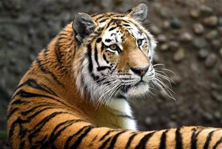 Koshka, a 3-year-old female Siberian tiger, rests in her enclosure at the Denver Zoo in Denver, Colorado June 12, 2009. REUTERS/Rick Wilking