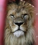 <p>Simba, one of five lions getting in touch with his wild side, is seen in Cochabamba, October 18, 2009, in preparation for a new life in a U.S. wildlife sanctuary. REUTERS/David Mercado</p>