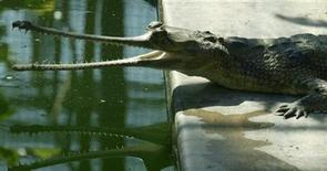 <p>A Gharial crocodile rests besides a pond at his enclosure at a crocodile centre in the northern Indian city of Lucknow August 23, 2007. REUTERS/Pawan Kumar</p>
