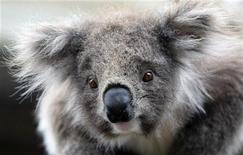 <p>Un koala in un parco a Melbourne. REUTERS</p>