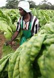 <p>A farm worker reaps tobacco leaves on a farm on the outskirts of the capital Harare in Zimbabwe February 21, 2006. REUTERS/Howard Burditt</p>