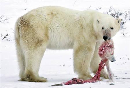 11月20日、米国が率いる国際的な科学調査によると、気候変動の影響でホッキョクグマが狩りをする北極圏の氷原が溶け、共食いをするクマも現れた。写真はカナダのマニトバ州で(2009年 ロイター)