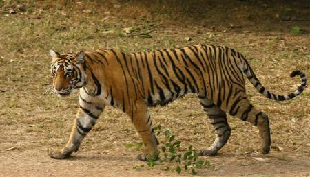 A two-and-a half years old female tigress named 'T-17' is seen at the Ranthambhore National Park in Rajasthan  in this January 15, 2009. Tigers are in a ''very, very precarious'' state and could disappear altogether in nearly half of India's tiger reserves, Environment Minister Jairam Ramesh said on Wednesday. REUTERS/Vijay Mathur/Files