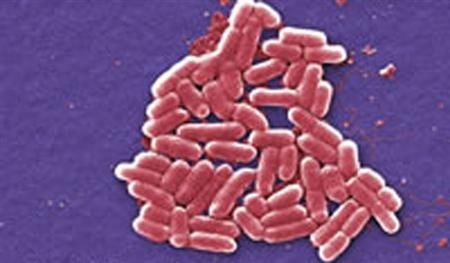 E. coli bacterium in an undated image. REUTERS/CDC/File