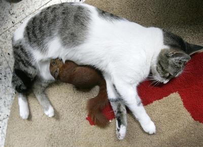 Cat nurses squirrel