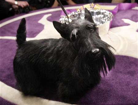 Roundtown Mercedes Of Maryscot, or Sadie, a Scottish Terrier, stands in the winning circle after winning Best in Show at the 134th Westminster Kennel Club Dog Show at Madison Square Garden in New York, February 16, 2010. REUTERS/Shannon Stapleton