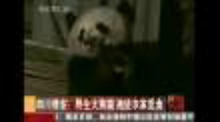 3月1日、中国で野生のジャイアントパンダが豚小屋で骨を食べる姿が目撃された。写真はCCTVのビデオ映像から(2010年 ロイター)