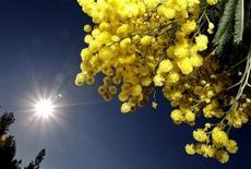 <p>Mimosa in foto d'archivio. REUTERS/Eric Gaillard</p>