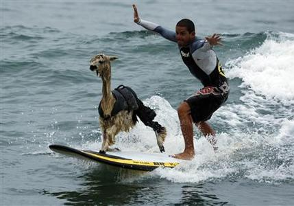Peruvian surfer Domingo Pianezzi rides a wave with his alpaca Pisco at San Bartolo beach in Lima March 16, 2010. Pianezzi has spent a decade training dogs to ride the nose of his board when he catches waves, and now he is the first to do so with an alpaca. REUTERS/Pilar Olivares