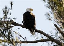 <p>A bald eagle sits on a tree branch in West Newbury, Massachusetts March 17, 2010. REUTERS/Brian Snyder</p>