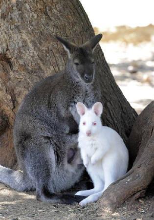3月31日、キプロス西部のPeyiaにある野生動物園で育っている真っ白なワラビー(2010年 ロイター/Pavlos Vrionides)