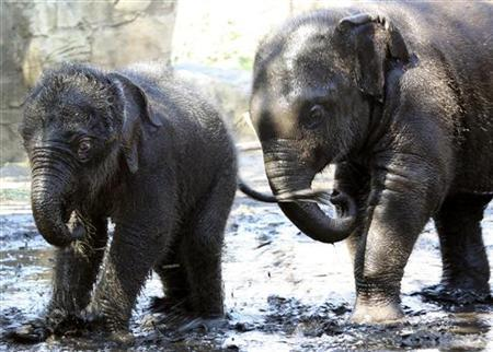 Baby male Asian Elephant 'Pathi Harn' (L) plays in the mud with 'Luk Chai' at Taronga Zoo in Sydney, in this March 31, 2010 handout photo. REUTERS/Bobby Jo Vial/Handout