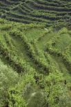 <p>Vigne di Valdobbiadene in foto d'archivio. REUTERS/Manuel Silvestri</p>