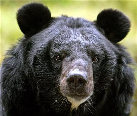 A male Himalayan black bear rests inside its open enclosure at the Padamaja Naidu Himalayan zoological park in Darjeeling, about 80 km (50 miles) from the northeastern Indian city of Siliguri October 17, 2006. REUTERS/Rupak De Chowdhuri