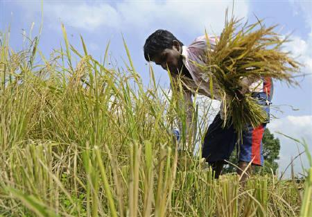 A farmer harvests a rice paddy crop on the outskirts of Agartala, Tripura, May 29, 2010. REUTERS/Jayanta Dey/Files