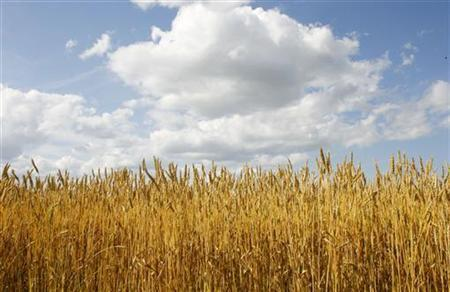Canadian wheat grows in a Manitoba field in a file photo. REUTERS/Shaun Best