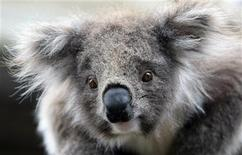 <p>A juvenile koala is seen at an animal park near Melbourne October 15, 2009. REUTERS/Mick Tsikas</p>
