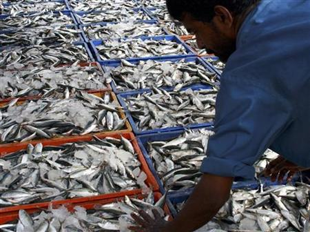 A worker arranges Sardine fishes at a fishing harbour in the southern Indian city of Kochi July 5, 2008. REUTERS/Sivaram V
