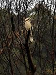 <p>A Kookaburra sits in a burned forest in the northern Sydney suburb of Allambie Heights December 22, 2005. REUTERS/Tim Wimborne</p>