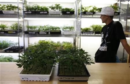 Small marijuana plants, available for sale, are shown in a medical marijuana dispensary in Oakland, California June 30, 2010. REUTERS/Robert Galbraith