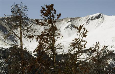 Beetle-killed pine trees stand near the Continental Divide in central Colorado April 8, 2010.  REUTERS/Rick Wilking/Files