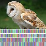 <p>A handout combination image shows a barn owl (Tyto alba), the most widely distributed species of owl, and one of the most widespread of all birds and its DNA barcode. Every species, from extinct to thriving, is set to get its own DNA barcode in an attempt to better track the ones that are endangered, as well as those being shipped across international borders as food or consumer products. REUERS/International Barcode of Life/Handout</p>