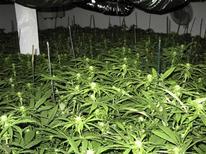 <p>Кусты марихуаны, которую незаконно выращивали в одном из домов Гумбольдт Каунти, штат Калифорния 15 апреля 2010 года. REUTERS/Alexandria Sage</p>