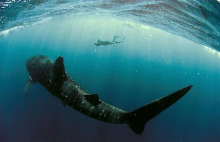 Diver Brad Norman photographs a whale shark at Ningaloo Marine Park, off the coast of Western Australia, in this undated handout picture made available November 29, 2007. REUTERS/Rolex/Kurt Amsler/Handout/Files