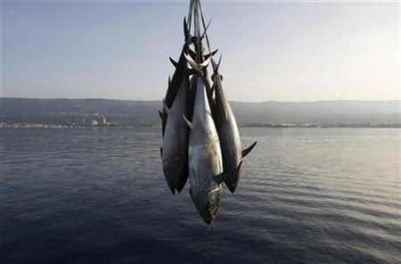 Freshly-harvested Bluefin tunas are uploaded from a ''tuna farm'', off the Calabrian coast in southern Italy November 20, 2009. REUTERS/Tony Gentile