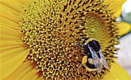 A bumblebee gathers pollen from a sunflower in Sumartin on Croatia's Adriatic Island of Brac July 18, 2009. REUTERS/Nikola Solic