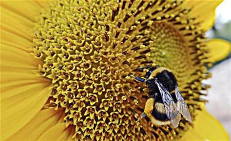 A bumblebee gathers pollen from a sunflower in Sumartin on Croatia's Adriatic Island of Brac July 18, 2009. REUTERS/Nikola Solic
