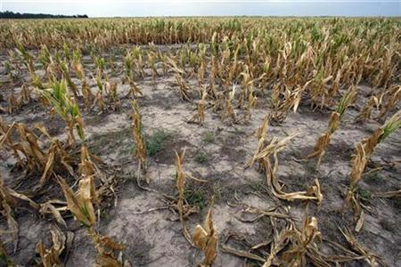 A drought-affected corn field is seen near Tostado, northern Santa Fe province, some 800 km (500 miles) north of Buenos Aires in this January 15, 2009 file photo. REUTERS/Marcos Brindicci/Files
