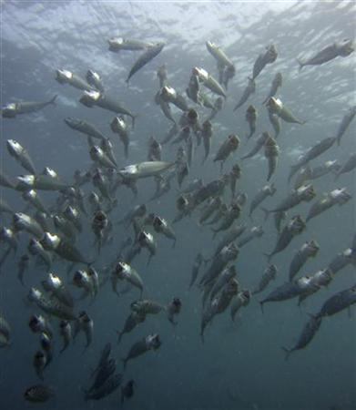 A school of mouth Mackerels feeds near the Malaysian island of Sipadan in Celebes Sea, east of Borneo, March 11, 2007. REUTERS/David Loh