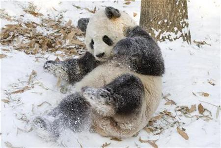 Tian Tian, a giant panda at the Smithsonian's National Zoological Park plays in the snow in Washington in this photograph released to Reuters on January 12, 2011. REUTERS/Mehgan Murphy/Smithsonian's National Zoological Park/Handout