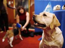 <p>Mei Li, a labrador retriever, sits during the American Kennel Club's most popular purebred dog in America news conference in New York January 21, 2009. REUTERS/Shannon Stapleton</p>