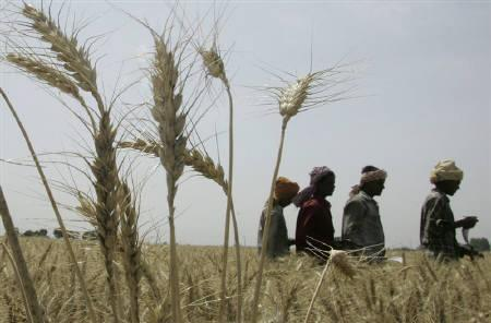 Labourers walk in a wheat field during harvesting in Bhartpur village, in Punjab, April 10, 2008. REUTERS/Ajay Verma/Files