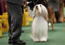 <p>Bearded Collie Tolkien Raintree Mister Baggins looks up at his handler Clifford Steele in the ring while winning the Herding Group at the 135th Westminster Kennel Club Dog Show in New York February 14, 2011. REUTERS/Mike Segar</p>