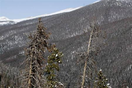 Beetle-killed pine trees stand near the Continental Divide in central Colorado April 8, 2010.  REUTERS/Rick Wilking