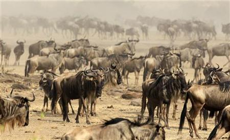 Wildebeests (connochaetes taurinus) prepare to cross the Mara river during a migration in the Masaai Mara game reserve, 270 km (165 miles) southwest of capital Nairobi, August 25, 2010. REUTERS/Thomas Mukoya
