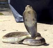 """<p>Un cobra égyptien disparu la semaine dernière à New York du zoo du Bronx est """"réapparu"""" sur le site de microblogging Twitter où le serpent venimeux raconte ses aventures de touriste à Manhattan. /Photo d'archives/REUTERS</p>"""