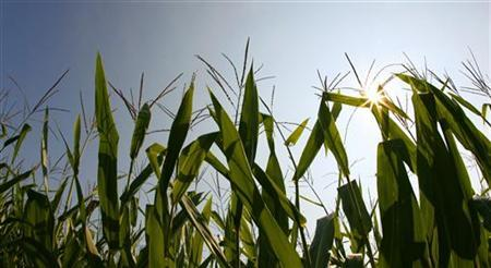 Large fields of corn growing in fields in Louisville, Kentucky, August 26, 2009. REUTERS/John Sommers II